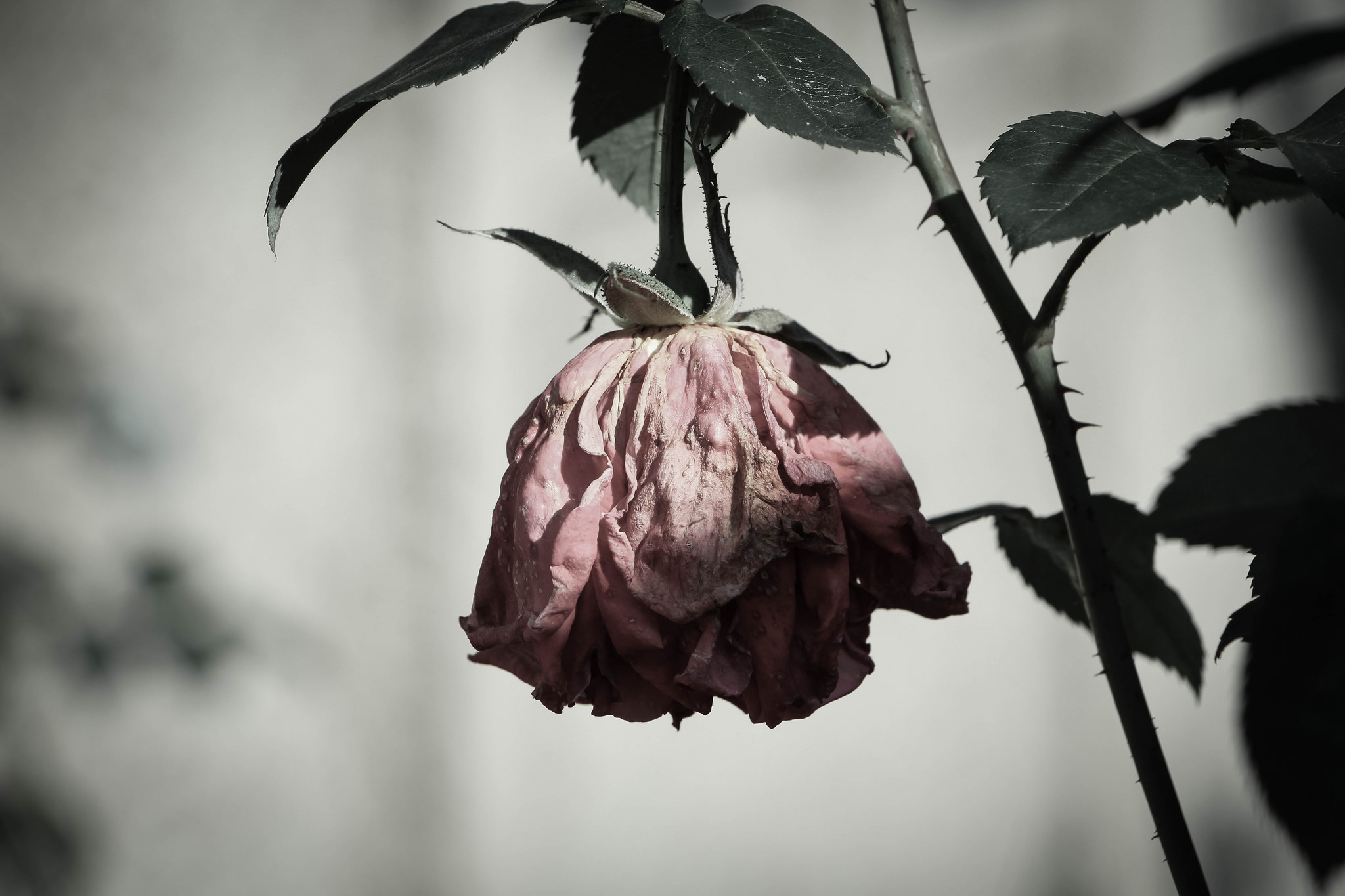 Depressed Rose image - attribution Tobias Wrzal (royalty free)